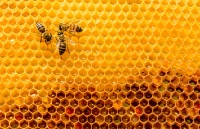 closeup of bees on honeycomb in apiary - selective focus, copy spacecloseup of bees on honeycomb in apiary - selective focus, copy space