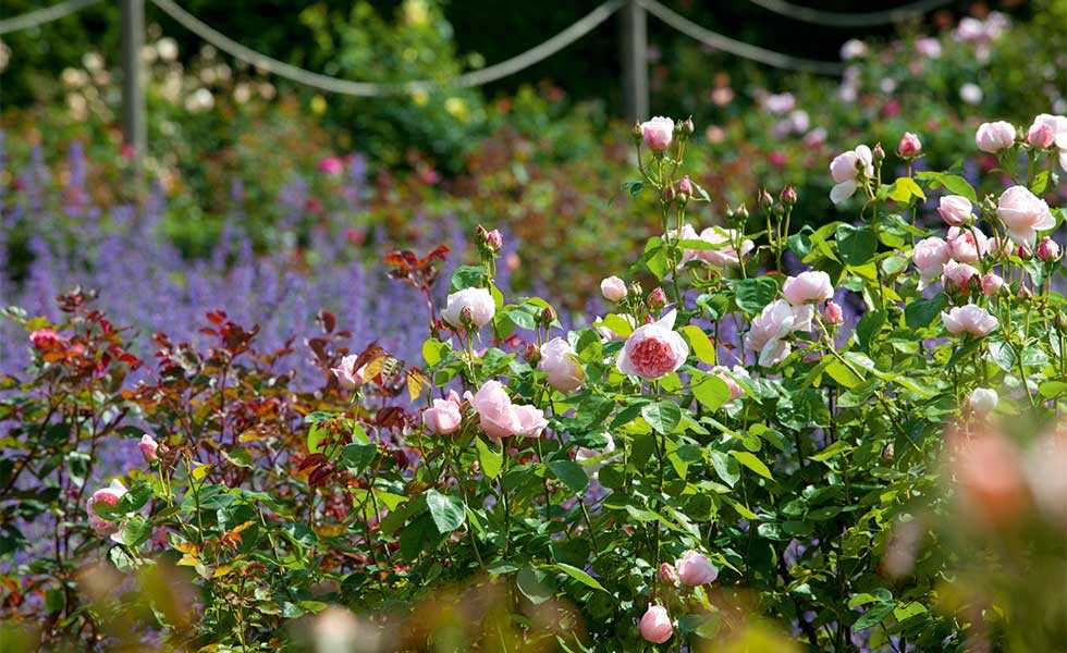 rose garden rose 'Kathryn Morley'