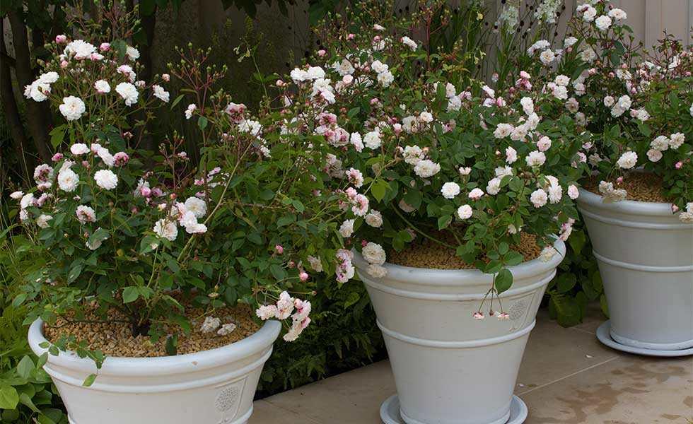 rose garden pots