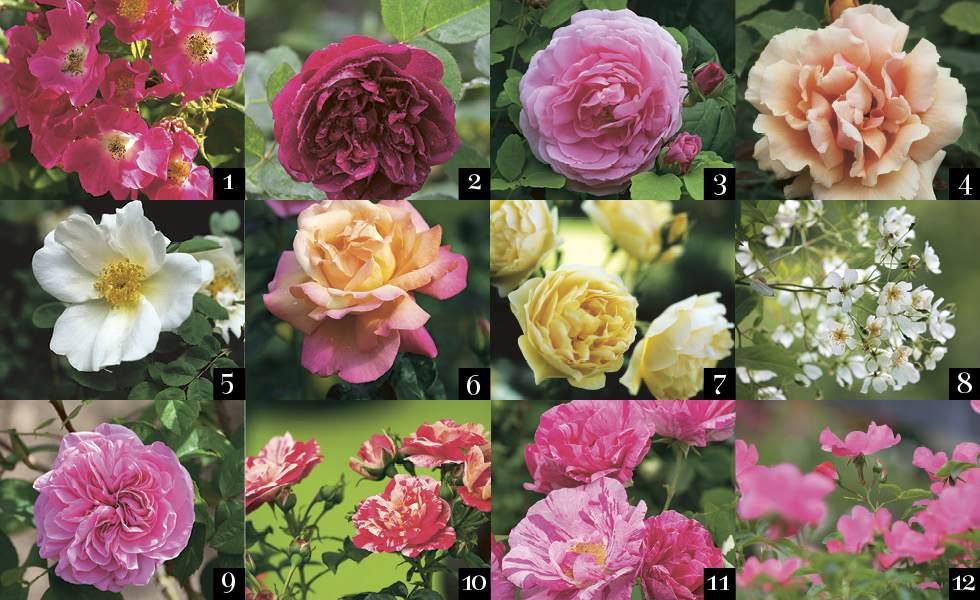 rose garden recommended roses