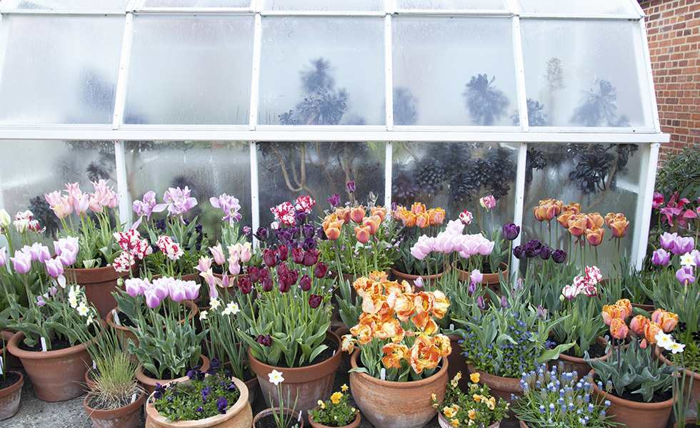 tulips garden in pots