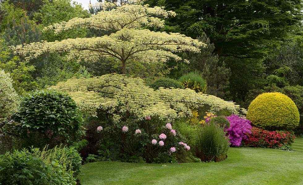 garden with cornus controversa