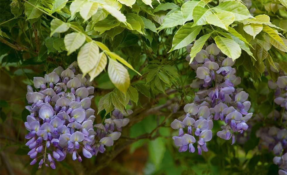 garden with wisteria
