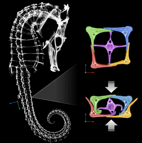 Sea horses get their exceptional flexibility from the structure of their bony plates, which form its armor. The plates slide past each other. Here the seahorse's skeleton, as well as the bony plates, are shown though a micro CT-scan of the animal