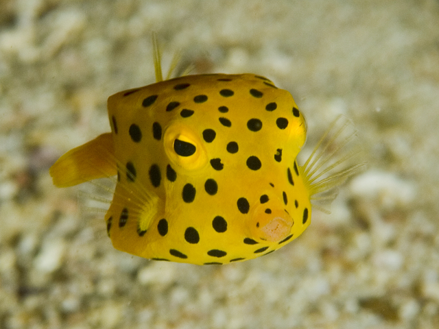 The boxfish has survived in the oceans for the past 35 million years.