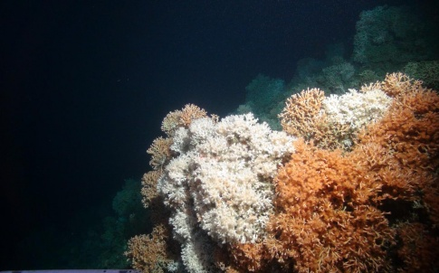 Rich cold-water coral reef was imaged by the the Isis ROV