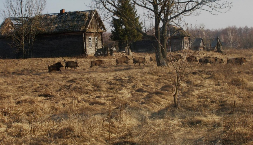 Wild boar in a former village near the Chernobyl Nuclear Power Plant.