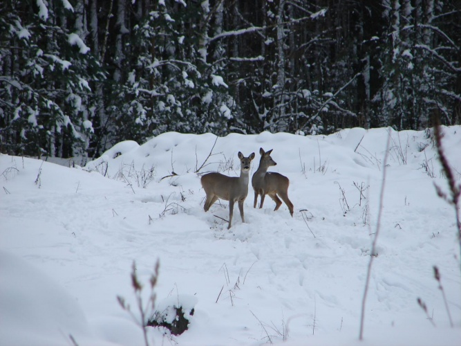 Roe deer near where the Chernobyl Nuclear Power Plant disaster took place.