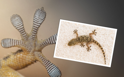 Ford researchers will study the geckos sticky toe pads for clues to improve adhesives and increase recyclability of auto parts