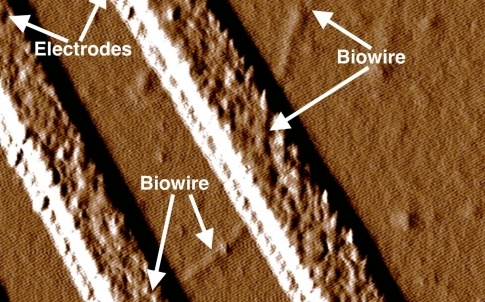 synthetic nano wires produced by the Amherst team. Credit: Dr Derek Lovley