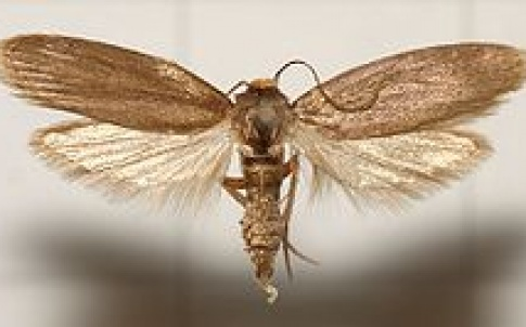 The Achroia grisella moth's ears may inspire new microphomes