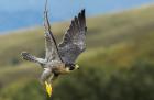 Falcon flight inspires next generation aircraft