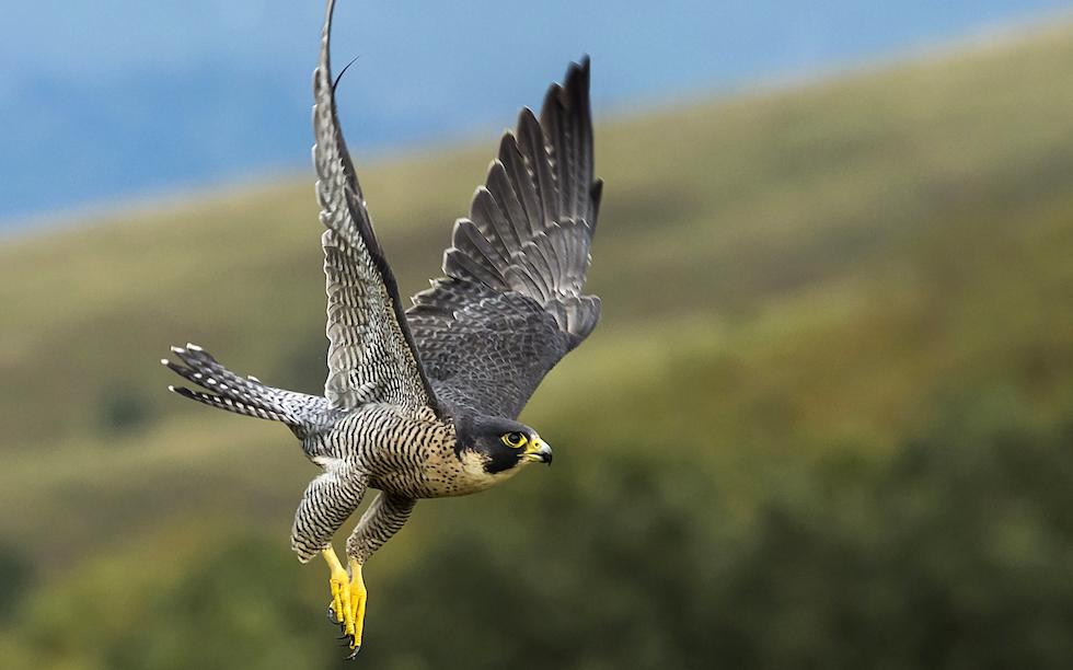 Falcon flight inspires next generation aircraft | The ...