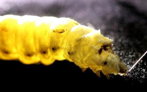 silkworm fibres