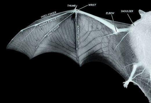 New 3D bat wing model could inspire next generation aircraft