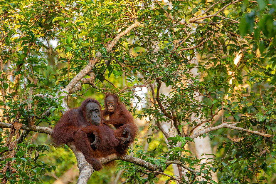 Drones fitted with thermal-imaging cameras measure orangutan numbers