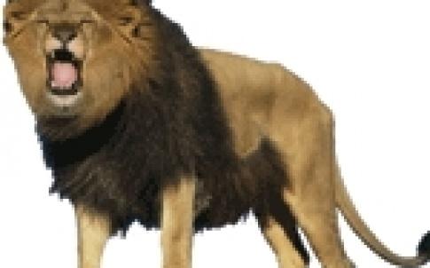 lion roar 150