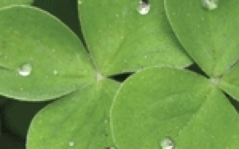 clover 150