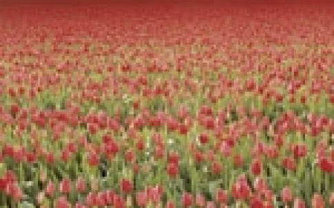netherlands poppies 150