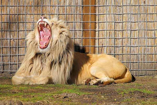 lejon-trott