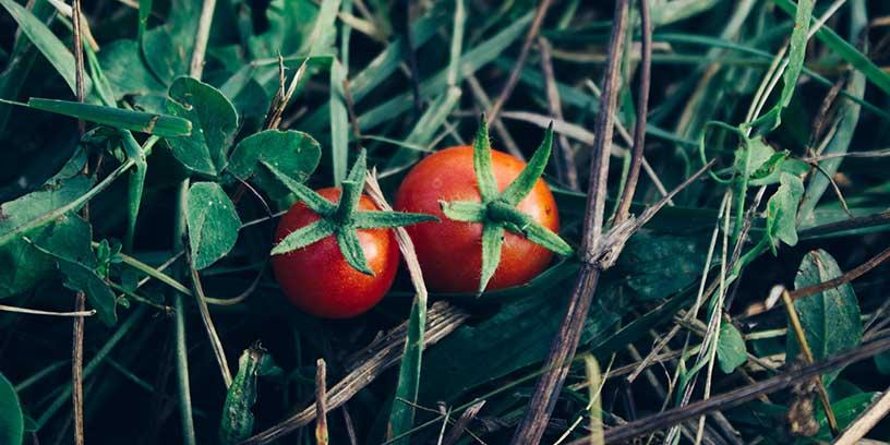 tomat-pomodori-metoder-led-dig-sjalv