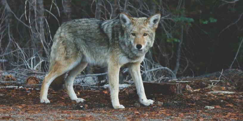 nature-animal-fur-wolf-kopia