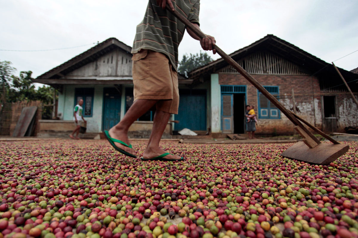 Endonezya'nın Volkanik Alanlarında Yetişen Kahveleri