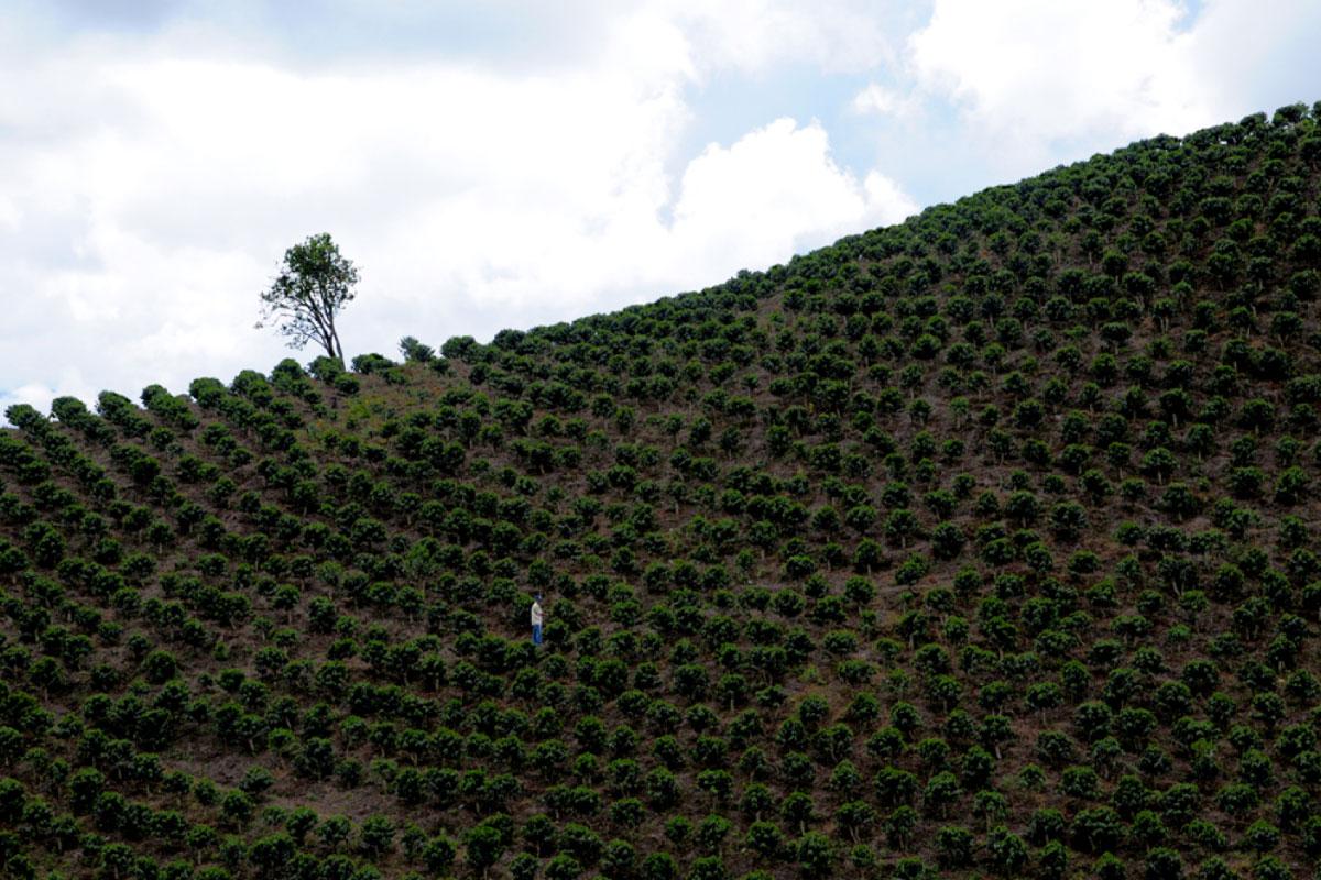 İklim Değişikliği Kahveyi Nasıl Etkiliyor?