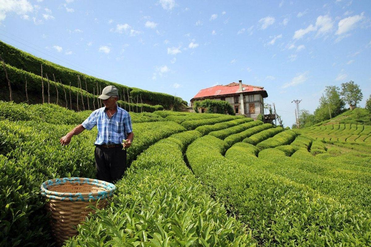 Çay Tarımında Mucize Gübre; Verim 3 Kat Arttı