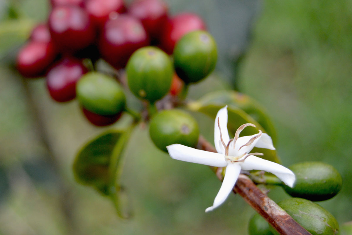 Kahve, Çikolata ve Patates 2055'e Kadar Yok Olabilir