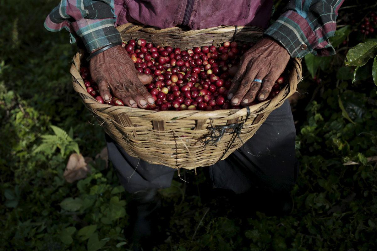 Kahve Tarımı Sürdürülebilirlik Çalışmaları