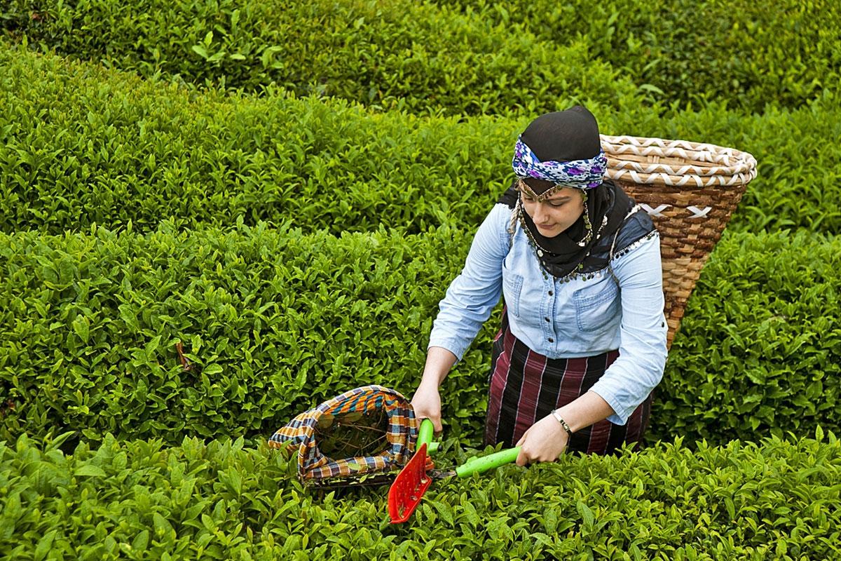2018 Yaş Çay Alım Kampanyası Başladı
