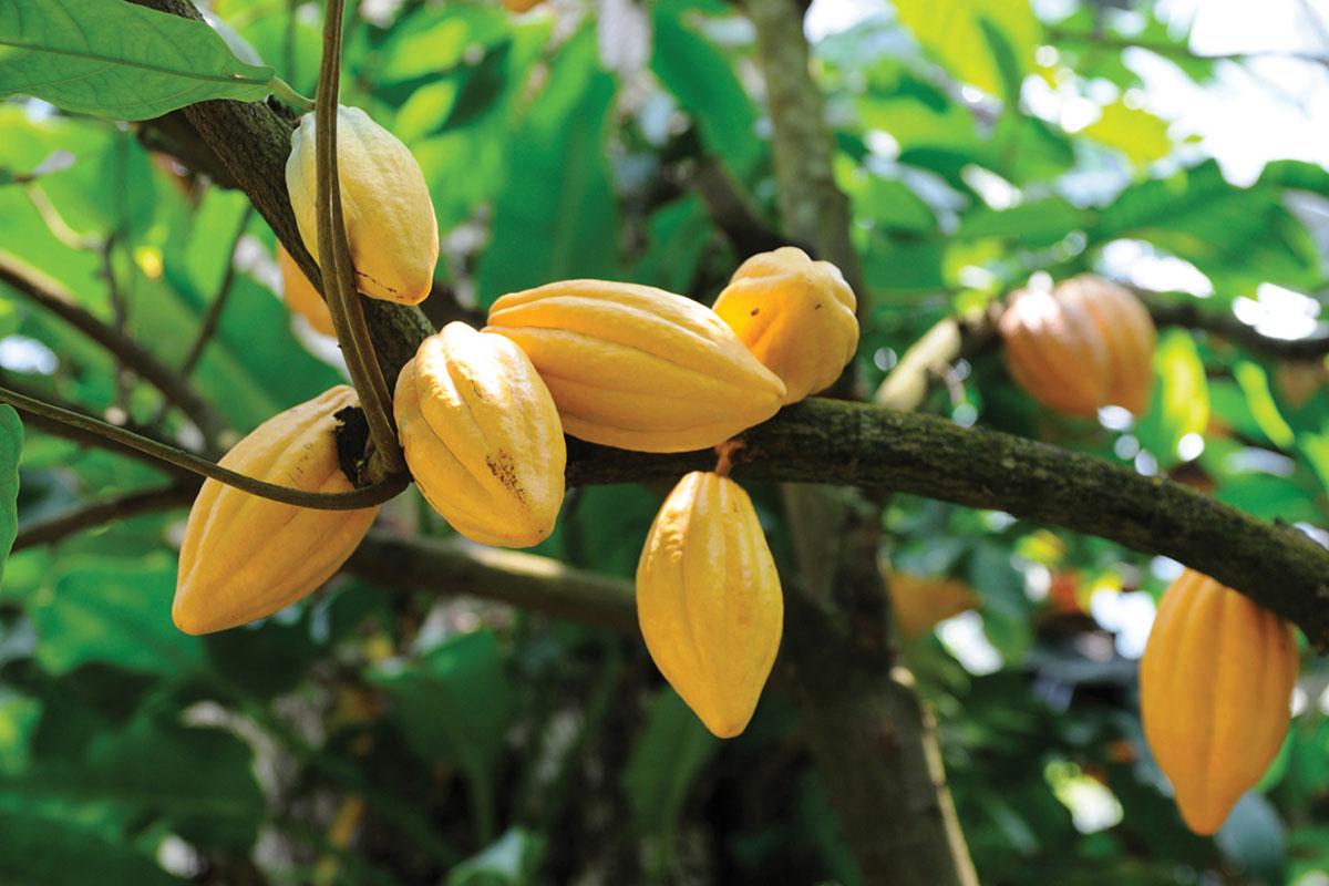 Kahveden Boşalacak Ekili Alanı Kakao Doldurabilir