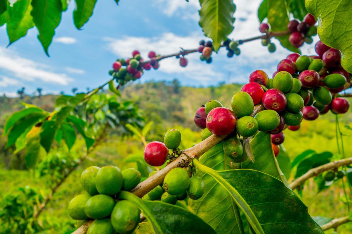 Kahve Nedir? Arabica'dan Robusta'dan Ne Anlamalıyız?