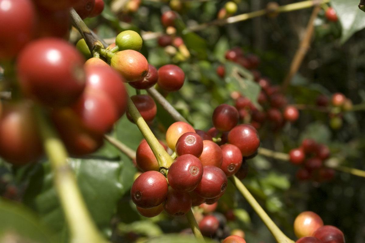 Antalya'da Kahve Yetiştirmek İçin Protokol İmzalandı