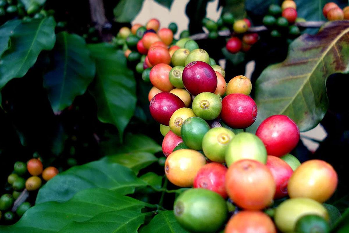 Antalya Tarım Fuarı'nda Gazipaşa Kahvesi Görücüye Çıktı