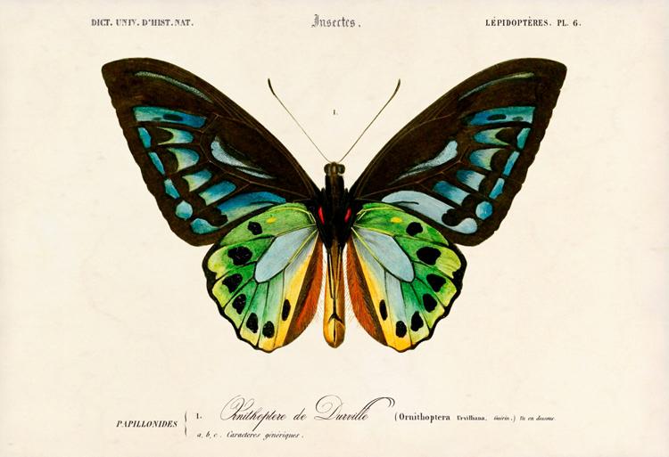 Natural History Of Birdwing Butterflies