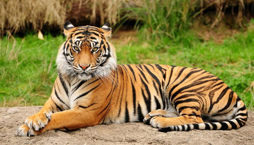Tigre-del-Bengala