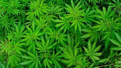 Photo of Tecogen cultivates cannabis business