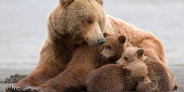 Alaska'da dişi ve yavru siyah ayıların avlanması yasaklandı