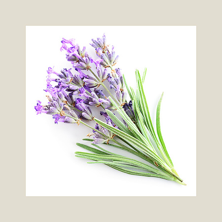 lavender for buckwheat husk pillows