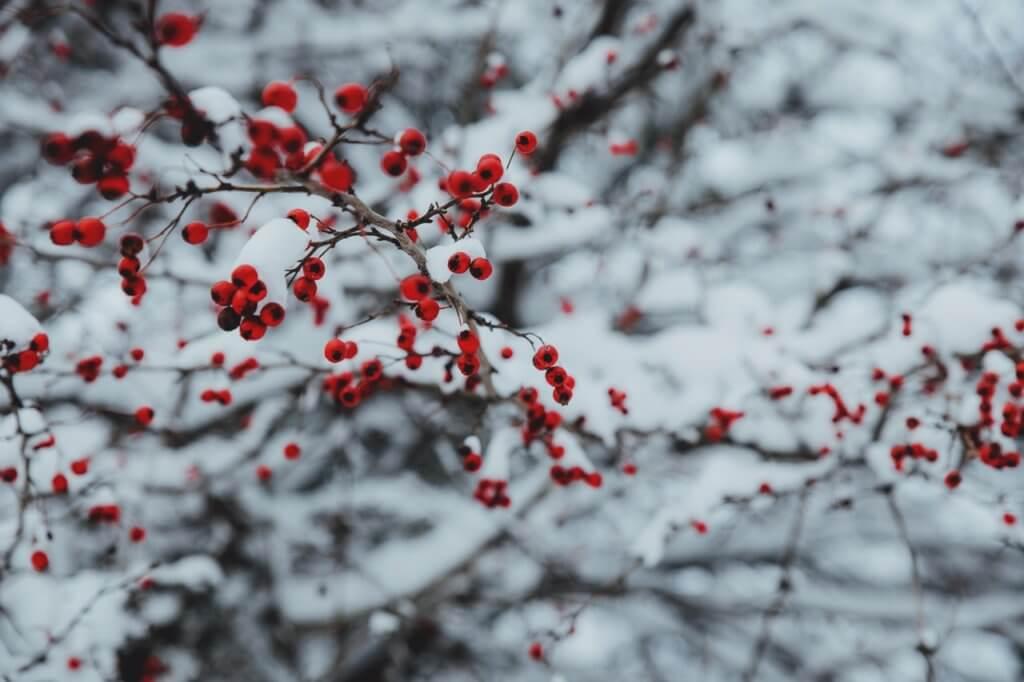 Zero Waste Weihnachten – Beeren an einem Strauch