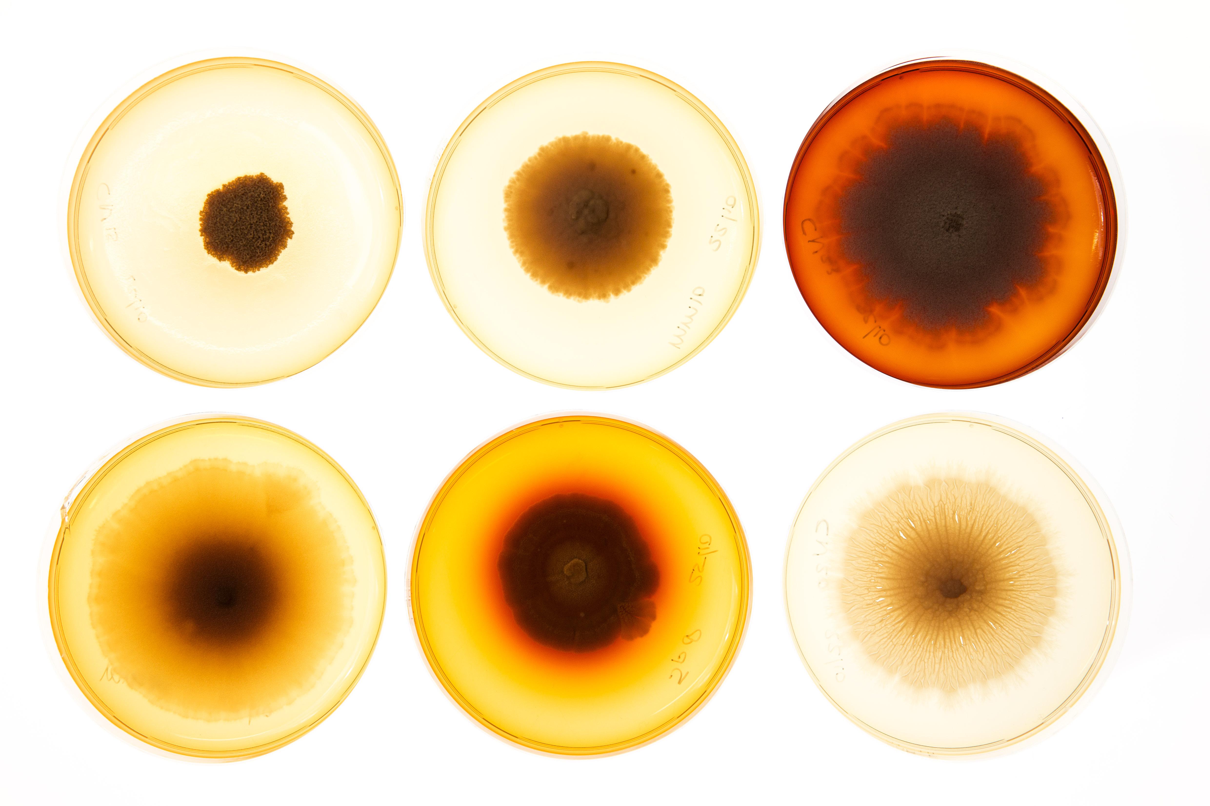 Gekweekte schimmels in het laboratorium