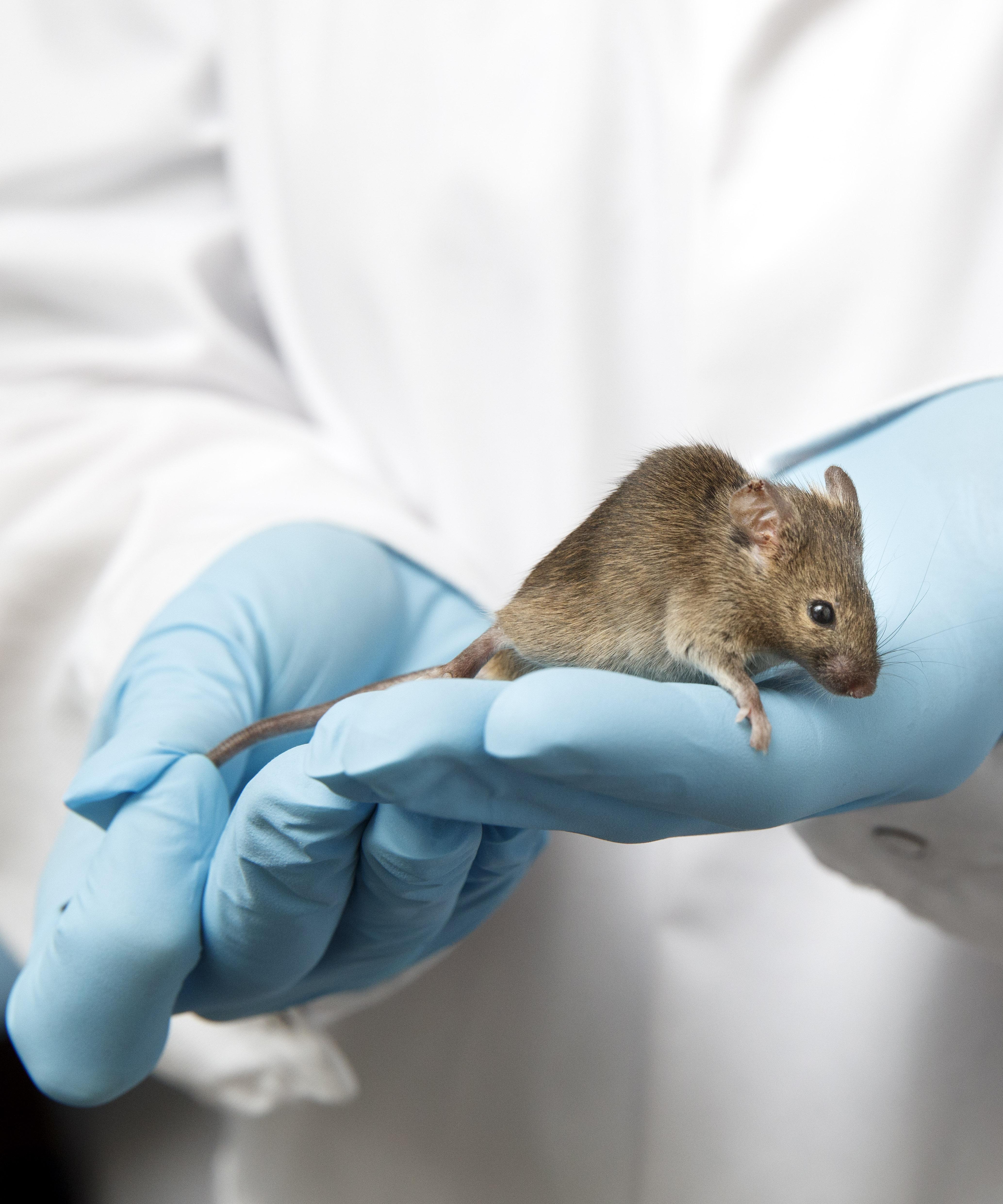 muis in de handen van onderzoeker
