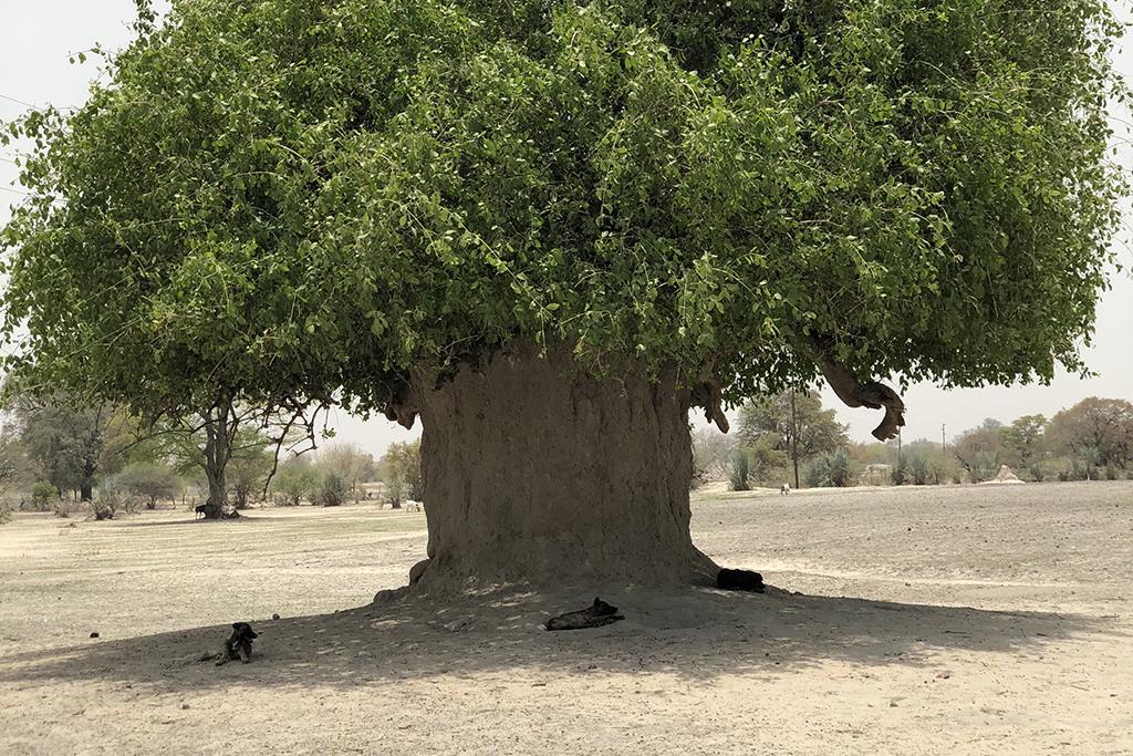 Namibiassa otetussa kuvassa on iso puu, jonka varjossa vahtikoirat lepäävät.