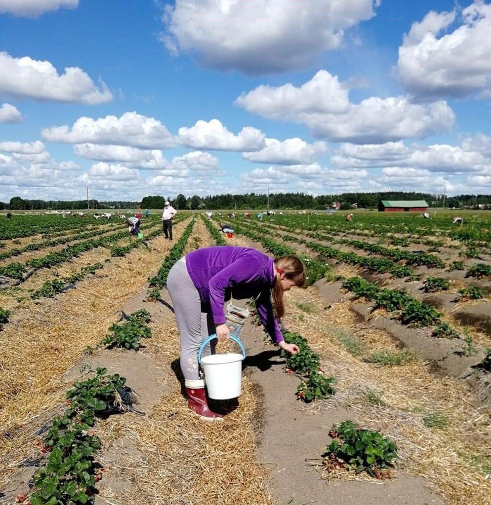 Nainen poimii mansikoita valkoiseen ämpäriin isolla mansikkapellolla.