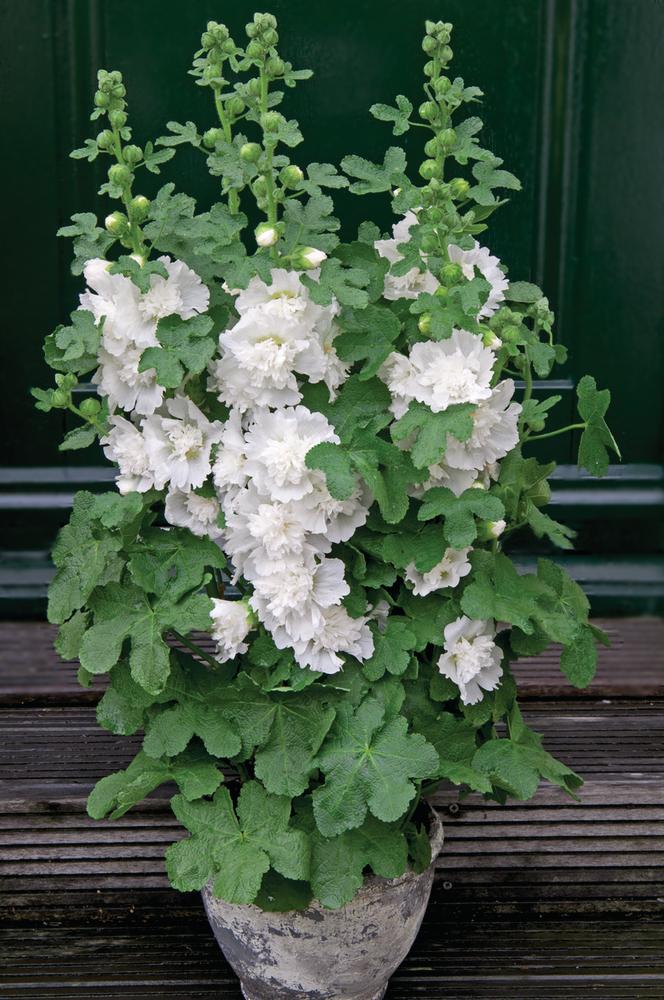 Alcea-rosea-Spring-Celebrities-White_16598_2.jpg (664×1000)