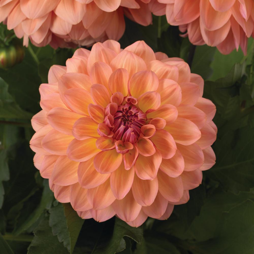 Gardenetta Peach