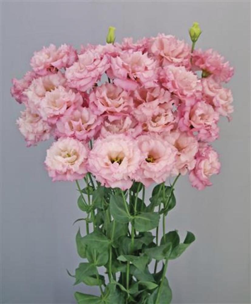 Celeb 2 Lovely Pink