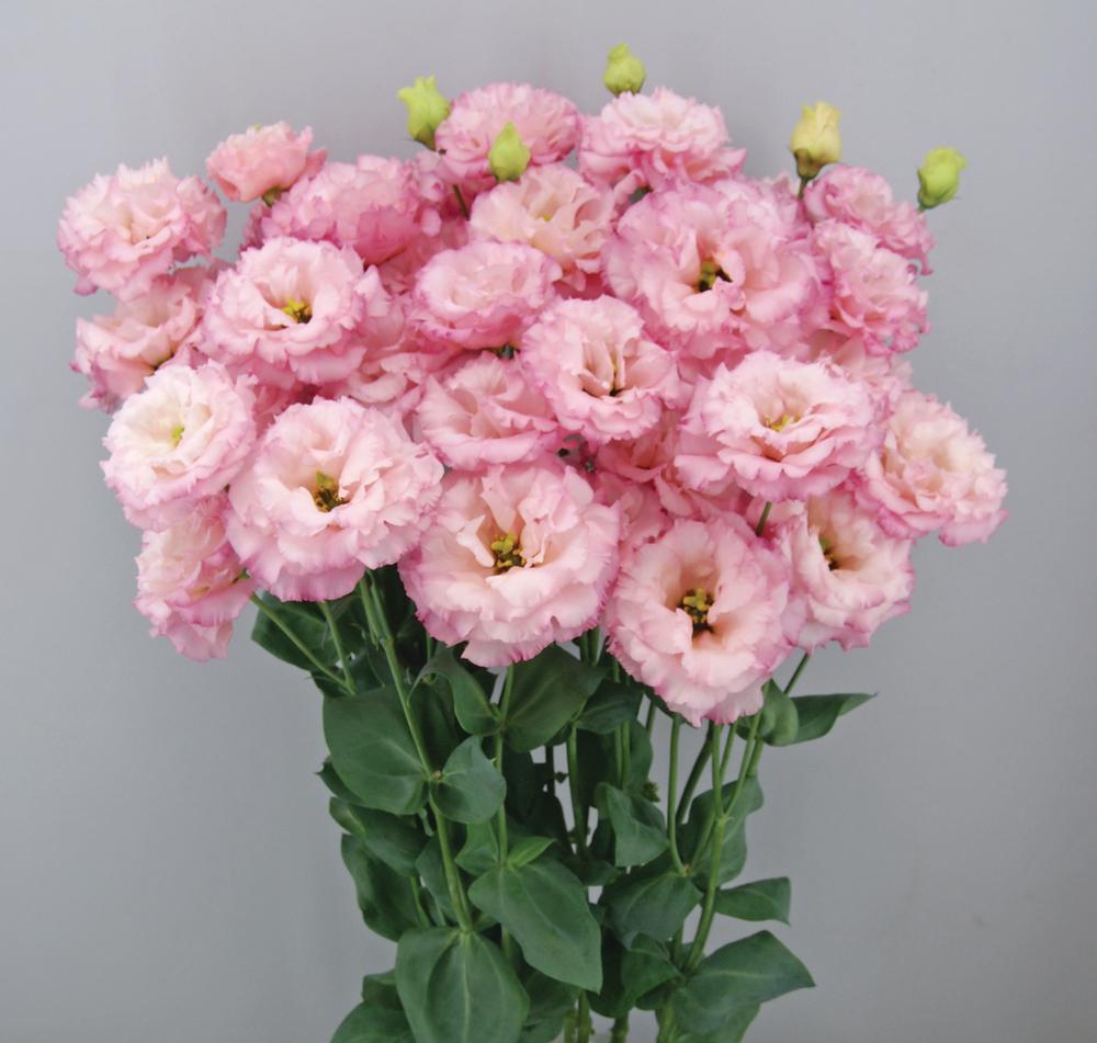 Celeb 2 Pink
